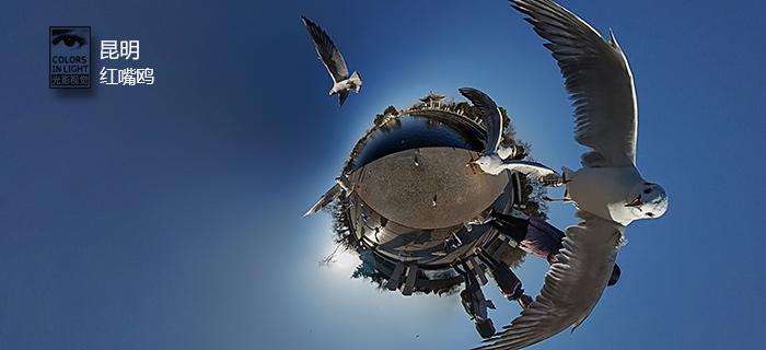 昆明-候鸟红嘴鸥