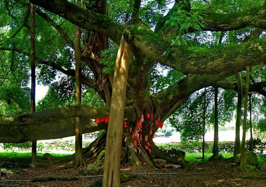 阳朔的大榕树(1400年)