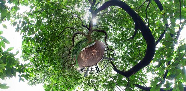 广州麓湖边的奇树